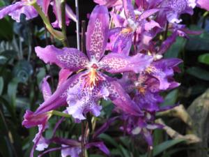 DSCN0125_orchidee