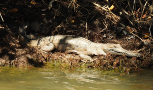 DSCN0482_freshwater_croc