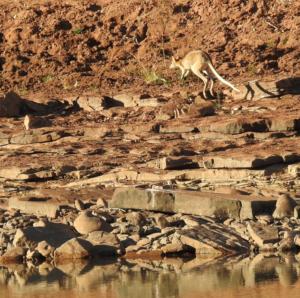 DSCN0636_kangaroo_springt