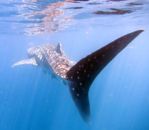 img_4251_whaleshark
